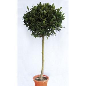 月桂樹(ゲッケイジュ) ローリエ 植木 庭木 苗木 半耐寒性常緑中高木|estoah