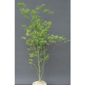 ハイノキ 常緑樹 白花 香り|estoah