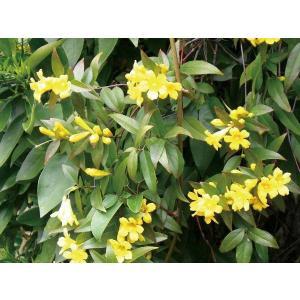 緑のカーテン ツル性植物 カロライナジャスミン(大株) 黄色花 香りよし 常緑つる性低木 観葉植物|estoah