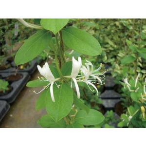 緑のカーテン ツル性植物 スイカズラ 吸い葛(大株)白・黄色花 香りよし 落葉 つる性 木本|estoah