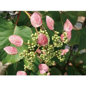 緑のカーテン ツル性植物 イワガラミ(岩絡み)・ロゼウム(大株) 薄桃色花 落葉 つる性低木|estoah