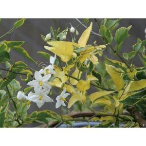 緑のカーテン ツル性植物 ツルハナナス 蔓花茄子(斑入) 白花 常緑つる性低木|estoah