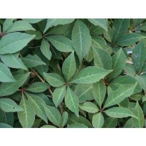 緑のカーテン ツル性植物 ナツヅタ・ヘンリーヅタ 紅葉 落葉つる性低木|estoah
