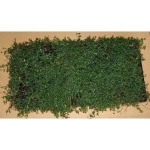 植木・苗*タイム(マット)*緑の絨毯*ハーブ