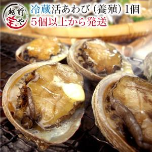 活 アワビ あわび 鮑 (高級 養殖)1個50〜60g  ギフト 海鮮BBQ バーベキュー ((冷蔵))|etizentakaraya