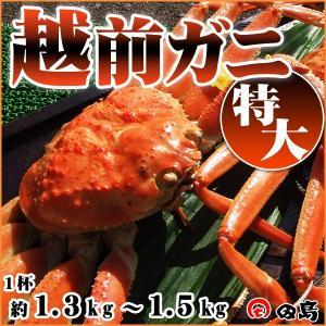 越前ガニ(特大)献上級・福井県産越前がに・蟹 約1.3〜1.5kg×1杯|etizenwakasa