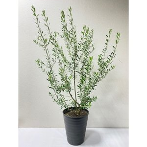 観葉植物「オリーブ 7〜8号鉢」 送料無料 観葉植物 鉢植え ご自宅用 期間限定|f-hanasyou
