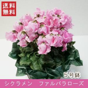 花鉢「シクラメン ファルバラローズ 5号鉢」 クリスマス お歳暮 誕生日 お祝い お正月飾り花 花 鉢植え ギフト プレゼント 送料無料|f-hanasyou