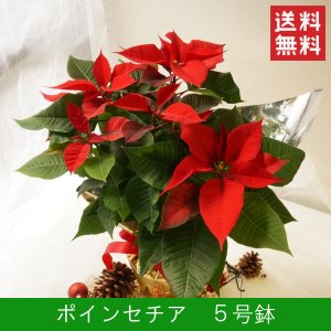 花鉢「ポインセチア 5号鉢」 クリスマス お歳暮 誕生日 お祝い お正月飾り花 花 鉢植え ギフト プレゼント 送料無料|f-hanasyou