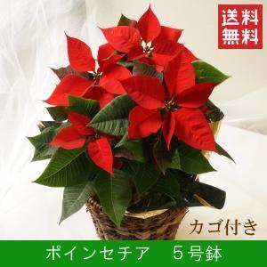 花鉢「ポインセチア 5号鉢 カゴ付き」 クリスマス お歳暮 誕生日 お祝い お正月飾り花 花 鉢植え ギフト プレゼント 送料無料|f-hanasyou