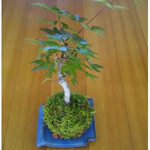 苔 苔盆栽 ハイ苔  観葉植物  いわみ焼き受け皿セット 小振りな庭木を使っての苔盆栽です。 お手軽...