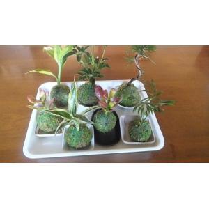 苔 苔盆栽 ハイゴケ苔玉  観葉植物お任せ