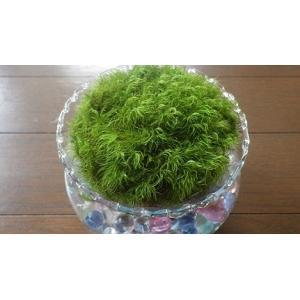 苔 苔玉 苔盆栽 シッポゴケテラリウム  ガラス容器入り ガラス容器8cm×10cmに入れています。...