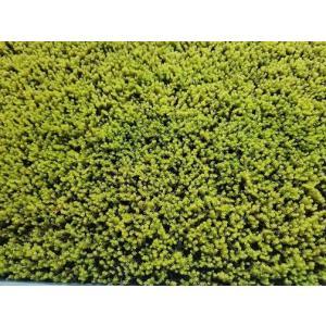 苔 緑化苔 庭園苔 スナ苔マット300mm×600mm 薄地ものなので主に苔庭用として張り苔として用...