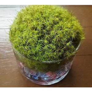 苔 苔盆栽 タマゴケテラリウム 縦形ガラス容器入り