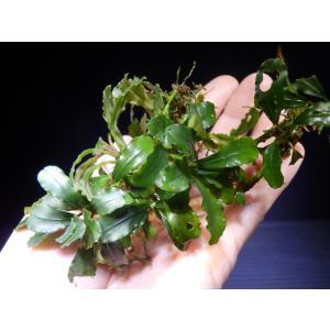 ブセファランドラ Bucephalandra sp. Helena