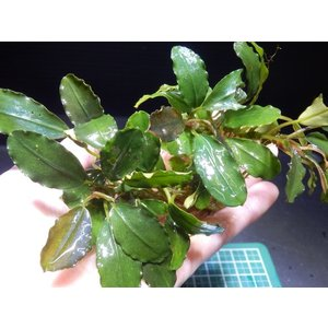 ブセファランドラ Bucephalandra sp. Theia 3Colour