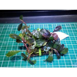 水草 ブセファランドラ Bucephalandra sp. Red Manji|fairyselection