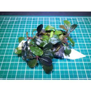 水草 ブセファランドラ Bucephalandra sp. Kaplas Blue|fairyselection