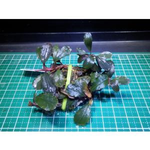 水草 ブセファランドラ Bucephalandra sp. Metallic Durly|fairyselection