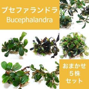 水草 ブセファランドラ Bucephalandra sp.おまかせ5株セット|fairyselection
