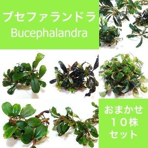 水草 ブセファランドラ Bucephalandra sp.おまかせ10株セット|fairyselection