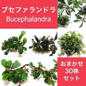 水草 ブセファランドラ Bucephalandra sp.おまかせ30株セット|fairyselection