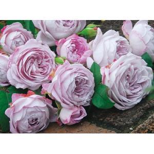 ☆1955年、Kordes(ドイツ)作出 ☆フロリバンダ系 ☆花    :花径・7〜8cm グレイッ...