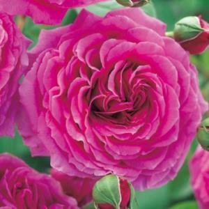☆2010年、Harkness(イギリス)作出  ☆フロリバンダ系 ☆花    :花径・10cm モ...