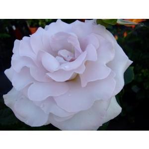 ☆1991年、Carruth(アメリカ)作出 ☆ハイブリッドティー系 ☆花    :花径・15cm ...