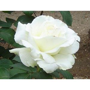 ☆1992年、Koldesr(ドイツ)作出 ☆ハイブリッドティー系 ☆花    :花径・15cm ア...