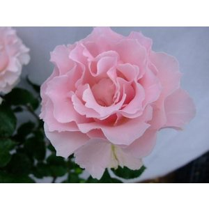 ☆2009年、河本バラ園作出 ☆フロリバンダ系 ☆花    :花径・7〜8cm 春はやわらかなベビー...