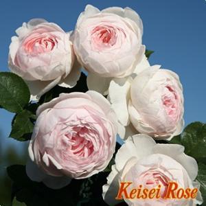 ☆2011年、コルデス(ドイツ)作出 ☆ラージフラワードクライマー系 ☆花    :花径・8cm ピ...