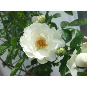 ☆1936年、Couteau(アメリカ )作出  ☆クライミングフロリバンダ系 ☆花    :花径・...