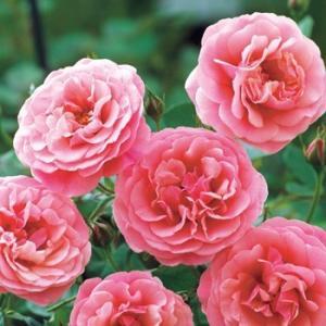 ☆2009年、Harkness(イギリス)作出  ☆シュラブ系 ☆花    :花径・7〜8cm ピン...