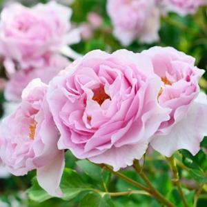 ☆2000年、Delbard(フランス)作出 ☆ハイブリッドティー系 ☆花    :花径・8〜10c...