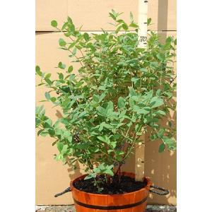ジャンボハスカップ(トカチカップ)4年結実地堀苗 樹高70cm以上×2本 fgkami