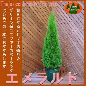 コニファー エメラルド80cm(コニファー 庭木 植木 常緑樹 シンボルツリー クリスマスツリー)|finegarden