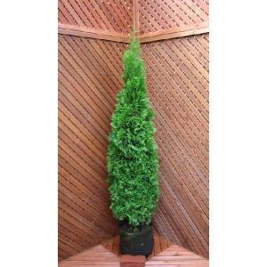 コニファー エメラルドグリーン150cm(コニファー 庭木 植木 常緑樹 シンボルツリー クリスマスツリー)|finegarden