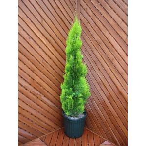 コニファー エレガンテシマ80cm(コニファー 庭木 植木 常緑樹シンブルツリー クリスマスツリー)|finegarden