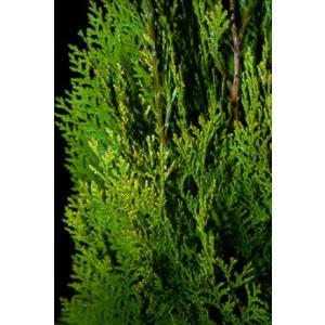 コニファー エレガンテシマ80cm(コニファー 庭木 植木 常緑樹シンブルツリー クリスマスツリー)|finegarden|02
