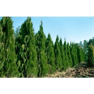 コニファー エレガンテシマ80cm(コニファー 庭木 植木 常緑樹シンブルツリー クリスマスツリー)|finegarden|03