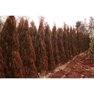 コニファー エレガンテシマ80cm(コニファー 庭木 植木 常緑樹シンブルツリー クリスマスツリー)|finegarden|04