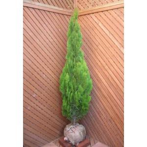 コニファー エレガンテシマ150cm(コニファー 庭木 植木 常緑樹シンブルツリー クリスマスツリー)|finegarden