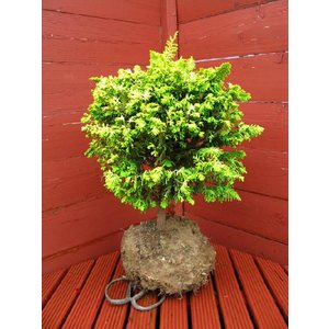 コニファー オウゴンクジャクヒバ(コニファー 庭木 植木 常緑樹シンブルツリー クリスマスツリー)|finegarden