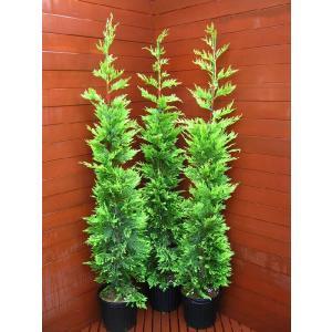 コニファー ゴールドライダー150センチ3本セット(コニファー 庭木 植木 常緑樹シンブルツリー クリスマスツリー)|finegarden