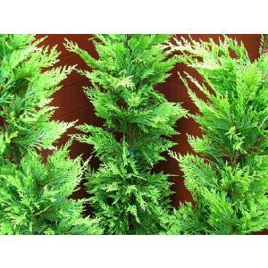 コニファー ゴールドライダー150センチ3本セット(コニファー 庭木 植木 常緑樹シンブルツリー クリスマスツリー)|finegarden|02