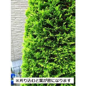 コニファー ゴールドライダー150センチ3本セット(コニファー 庭木 植木 常緑樹シンブルツリー クリスマスツリー)|finegarden|04