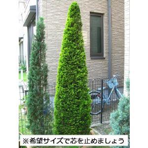 コニファー ゴールドライダー150センチ3本セット(コニファー 庭木 植木 常緑樹シンブルツリー クリスマスツリー)|finegarden|05