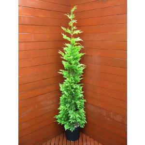 コニファー ゴールドライダー150cm(コニファー 庭木 植木 常緑樹シンブルツリー クリスマスツリー 生垣)|finegarden